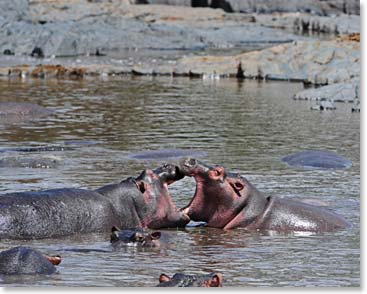 Are these hippos kissing or fighting?