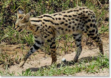 A serval cat, David's favorite animal on the savannah (Photo credit: Picasa Web Albums)