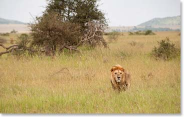 A hungry looking lion approaches the vehicle on safari in Tanzania.