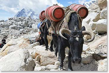 A Yak load arrives
