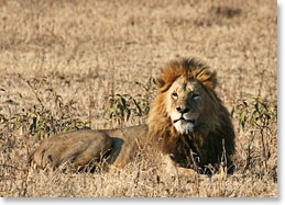 Walking across the plains is no easy feat, especially in lion territory
