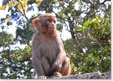 Rhesus monkeys are found throughout Kathmandu