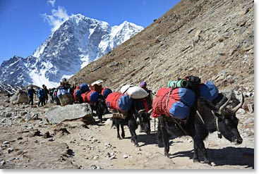 Yak trains going up to Everest Base Camp