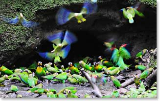 parrots feeding at the clay licks