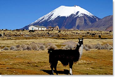 Llamas greet us in Sajama Village.