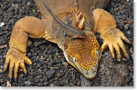 Land Iguana and Lizard